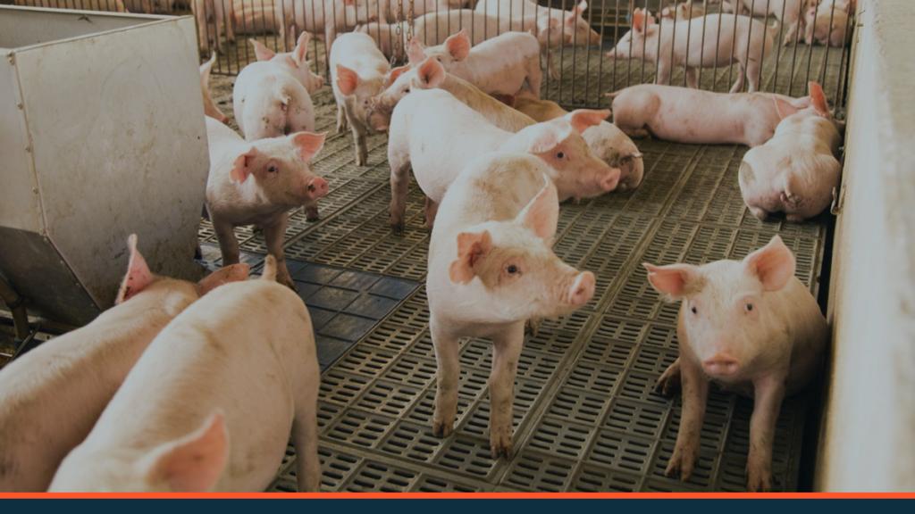 Mercado de suínos: confira o panorama brasileiro e desafios!